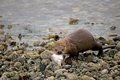 River otter with fish on rocky shoreline Royalty Free Stock Image