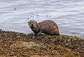 River otter snacking a north american lontra canadensis on an octopus shot on gabriola island british columbia canada Stock Image