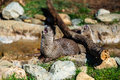 River Otters of North Carolina Royalty Free Stock Photo