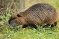 River rat the adult strolling in the grass Royalty Free Stock Photos