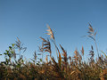 River reed sky and blue Stock Image