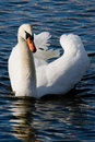 River swan Stock Photography