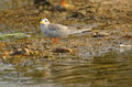 River tern Royalty Free Stock Photo