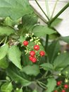 Rivina humilis or Bloodberry. Royalty Free Stock Photo