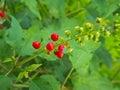 Rivina humilis blossom and bear fruit Royalty Free Stock Image