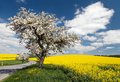 Road with alley of apple tree and rapeseed field Royalty Free Stock Photo