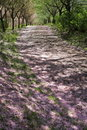 Road covered with cherry blossoms Royalty Free Stock Photo