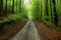 Road through forest lonely lined with big trees Stock Photography