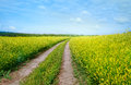 The road between the gold fields beautiful summer landscape with flowering Royalty Free Stock Image