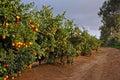 Road with many orange trees Royalty Free Stock Photo