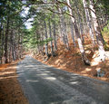 Road in the pine forest at the sunny day perspective Royalty Free Stock Image
