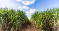 Road in Sugarcane farm. Royalty Free Stock Photo