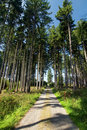 Road through summer spruce forest Royalty Free Stock Image
