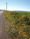 Road With Sunflowers Stock Image