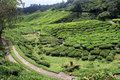 Road and tea rosd on the plantation in cameron highlands malaysia Stock Photos