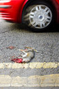 Roadkill carcass of a grey squirrel a red car passes by nd july sciurus carolinensis kirkby in ashfield nottinghamshire england Stock Images