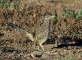 Roadrunner Stock Photography