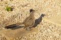 A roadrunner pauses on some gravel to look for prey Royalty Free Stock Photo