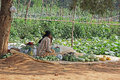 Roadside fresh vegetable vendor in india an unidentified indian woman farmer sells vegetables plucked from the farm on november Royalty Free Stock Photo