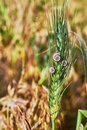 Roadside spike with three snails stuck close up Stock Images