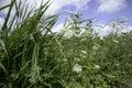 Roadside Weed