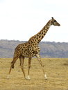 Roaming giraffe a on a vast african grassland Royalty Free Stock Images