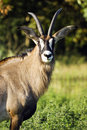 Roan Antelope Royalty Free Stock Photos