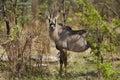 Roan antelope, Chobe, Botswana Royalty Free Stock Photos