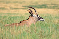 Roan antelope a rare hippotragus equinus resting in grassland mokala national park south africa Royalty Free Stock Images