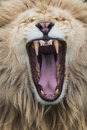 Roaring Lion Royalty Free Stock Photography