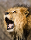 Roaring lion majestic male sending out a warning roar Royalty Free Stock Images
