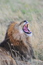 A roaring lion roars to communicate Stock Image
