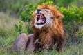 Roaring lion ron in masai mara is a son of legendary notch he is kenya Royalty Free Stock Photo