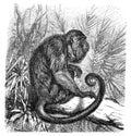 Roaring Monkey Mycetes Ursinus / Antique Engraved Illustration From Brockhaus Konversations-Lexikon 1908
