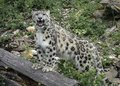 Roaring Snow Leopard on Log Royalty Free Stock Photo