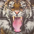 Roaring Sumatran tiger showing teeth Royalty Free Stock Photo