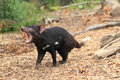 Roaring tasmanian devil Royalty Free Stock Photo