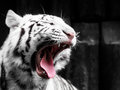 Roaring white tiger portrait. Black and white image Royalty Free Stock Photo