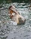 Robben-Schwimmen auf seiner Rückseite Stockbilder