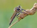 The Robber fly Royalty Free Stock Photo
