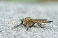 Robber fly the close up of Royalty Free Stock Photos