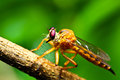 Robber fly closeup of a Royalty Free Stock Photo