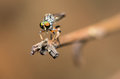 Robber Fly on The Edge Royalty Free Stock Image