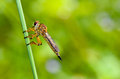 Robber fly family asilidae predatory insects shaped similar to dragonfly Royalty Free Stock Images