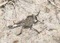 Robber Fly (Family Asilidae) Waits in Ambush on Sandy Habitat Royalty Free Stock Photo