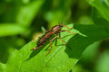 Robber fly on a leaf Stock Images