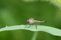 Robber fly a on leaf of grass Royalty Free Stock Image