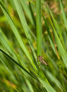 Robber fly macro of assassin asilidae resting on grass blade over meadow background Stock Images
