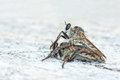 Robber fly a pair of are mating Royalty Free Stock Photography