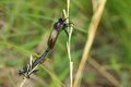Robber fly a pair of are mating Royalty Free Stock Images